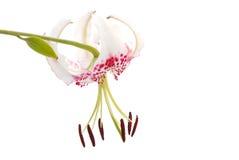 Gloriosoides di varietà di speciosum del Lilium Fotografia Stock Libera da Diritti