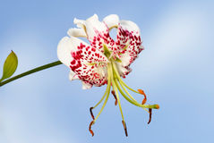 gloriosoides lilium speciosum var Obraz Stock