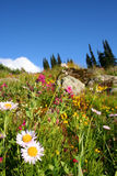 Glorious. A subalpine meadow in full bloom in Whistler, BC Stock Photos