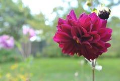 Glorious burgundy dahlia flower stock photo