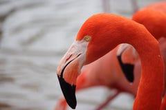 Glorious coloured Flamingo at Oeno Zoo Tokyo Japan. Coloured Flamingo at Oeno Zoo Tokyo Japan royalty free stock photos