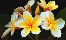 Glorious Frangipani. Frangipani (plumeria) against a black background stock photo