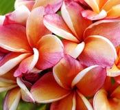Glorious frangipani or plumeria flowers Royalty Free Stock Images