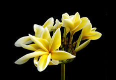 Glorious frangipani or plumeria flowers Royalty Free Stock Photography