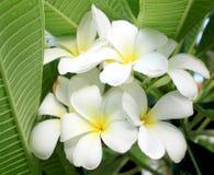 Glorious frangipani (plumeria) Stock Photos