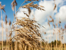 Glorious and golden reeds in the summer sun Stock Photography