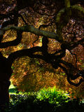 Glorious Japanese maple tree Stock Photography