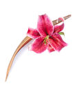 Glorious lily flower set with a coco palm leaf, is Stock Photo