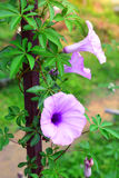 Glorious morning glory Royalty Free Stock Photography