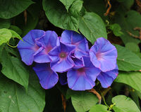 Glorious morning glory blooming in the morning Royalty Free Stock Photo