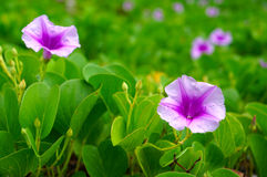 Glorious morning glory Stock Image