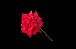 Glorious red rose isolated on black Stock Photography
