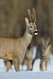 Glorious roebuck Royalty Free Stock Photo