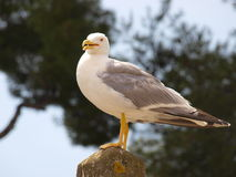 Glorious seagull. A shot of a beautiful (and extremely big) seagull stock images