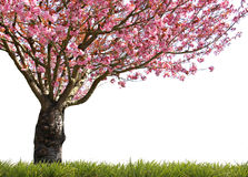 Glorious spring. Gorgeous spring blooming cherry tree in pink Stock Image