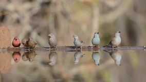 Glorious steady low angle blurred close up view on small little birds drinking water from mirror surface water puddle stock video footage