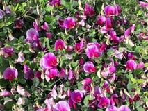 Glorious Sweet Peas. Unhindered steer peat bush in glorious flowering beauty Stock Photo