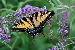 Glorious Tiger Swallowtail butterfly feeds eagerly on a purple butterfly bush bloom. Female Tiger Swallowtail butterfly feeds eagerly on a purple-flowered Stock Image