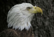 Glory Bald Eagle idosa foto de stock royalty free
