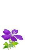 Glory bushes flower Stock Photos