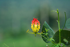 Glory Lilly Gloriosa Superba. Flower during monsoon in India Royalty Free Stock Image