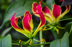 Free Glory Lily Stock Photography - 52464882