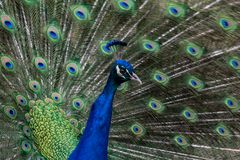 The glory of a peacock royalty free stock photos