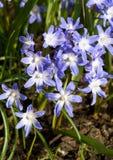 Chionodoxa luciliae flowers Stock Image