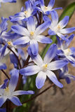 Glory of the Snow. Chionodoxa luciliae also known as Chionodoxa gigantea Closeup of a cluster of six-petaled upward-facing, star-shaped pale blue with a white Stock Image