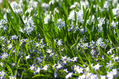 Glory-of-the-Snow (Chionodoxa forbesii). Close-up, shallow DOF Royalty Free Stock Images