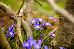 Glory-of-the-snow (Chionodoxa luciliae) Stock Images