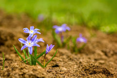 Glory-of-the-snow (chionodoxa luciliae). Stock Photos
