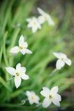Glory-of-the-snow flower in springtime Stock Photos