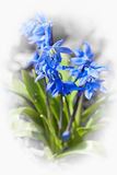 Spring blue flowers wood squill Royalty Free Stock Image
