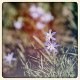 Glory of the snow flowers, old photo Royalty Free Stock Images