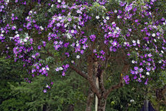 Glory tree in bloom to the roadside in the countryside. VINHEDO, SP, BRAZIL - OCTOBER 31, 2015 - Glory tree, Tibouchina mutabilis, tree of the Melastomataceae Royalty Free Stock Image