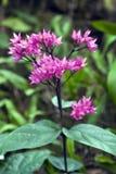 Glorybower en la floración Foto de archivo libre de regalías