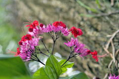 Glorybower in fioritura Fotografie Stock Libere da Diritti