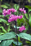 Glorybower in fioritura Fotografia Stock Libera da Diritti