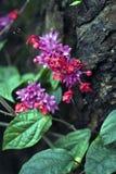 Glorybower w kwiacie Zdjęcia Royalty Free