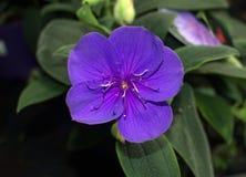 Glorybush purple flower Royalty Free Stock Photos