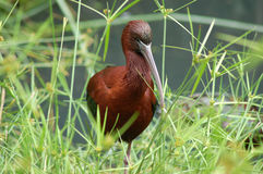Gloss Ibis. A Gloss Ibis amongst miniature paypyrus royalty free stock photo