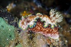 Glossodoris cincta nudibranchLembeh Strait, Indonesia royalty free stock photo