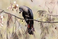 Free Glossy Black Cockatoo Royalty Free Stock Photo - 192132135