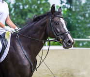 Glossy black horse portrait during dressage competition, show jumping surfaces. Royalty Free Stock Images