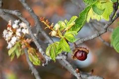 Glossy brown conker and inflorescence of horse-chestnut stock photos