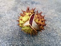 Chestnut Castanea sativa fruit falling to the ground stock image