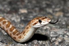 Glossy Flicking Tongue. Glossy Snake Flicking Tongue, Sensing Air royalty free stock photos
