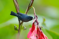 Glossy Flowerpiercer, Diglossa lafresnayii, black bird with bent bill sittin on the orange flower, nature habitat, exotic animal f Royalty Free Stock Photography
