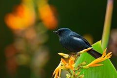 Glossy Flowerpiercer, Diglossa lafresnayii, black bird with bent bill sittin on the orange flower, nature habitat, exotic animal f Royalty Free Stock Images